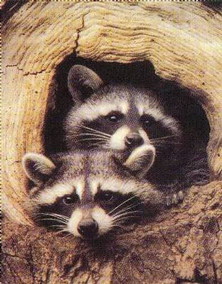 2202~Twin-Raccoons-Posters